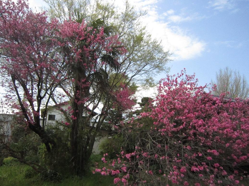 花桃咲きました・